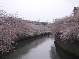 2009大岡川桜.jpg